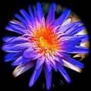Blue Burst Lily Poster