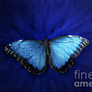 Blue Butterfly Ascending 02 Poster