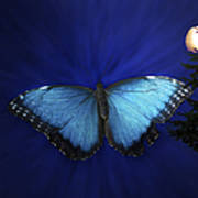 Blue Butterfly Ascending Poster