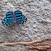 Blue Butterfly Myscelia Ethusa Art Prints Poster