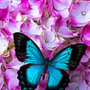 Blue Butterfly On Pink Hydrangea Poster