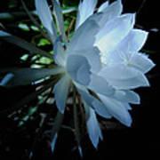 Blue Cereus Poster