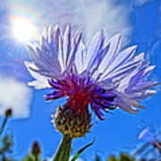 Blue Cornflower With Blue Sky Poster