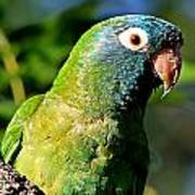 Blue-crowned Parakeet Poster by Ira Runyan