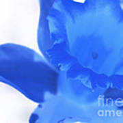 Blue Daffodil Poster