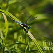 Blue Damsel Dragon Fly Poster