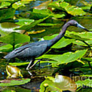 Reddish Egret Among The Lily Pads Poster