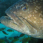 Blue-eyed Grouper Fish Poster