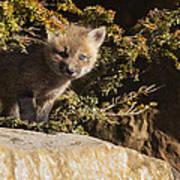 Blue Eyes Baby Fox Poster