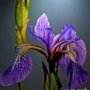 Blue Flag Iris Flower Poster