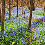 Blue Flowers In Spring Forest Poster