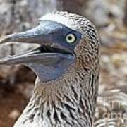 Blue Footed Boobie Galapagos Poster
