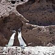 Blue Footed Boobies Displaying Poster