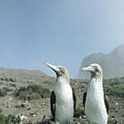 Blue-footed Booby Pair With Nesting Poster