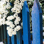 Blue Garden Fence With White Flowers Poster