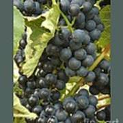 Blue Grapes Poster by Patricia Overmoyer