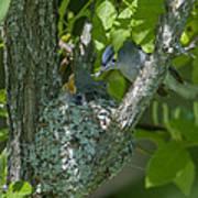 Blue-gray Gnatcatcher Nest Dsb261 Poster