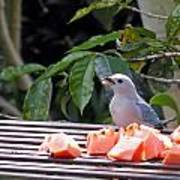 Blue-grey Tanager 1 Poster
