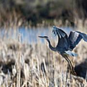 Blue Heron 1 Poster by Roger Snyder