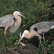 Blue Heron Feeding Young Poster