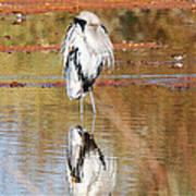 Blue Heron Grooming Poster