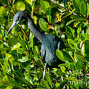 Blue Heron In Mangroves Poster