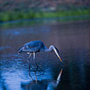 Blue Heron In Pond Poster