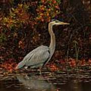 Blue Heron In The Fall Poster