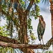 Blue Heron In Tree Poster