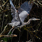 Blue Heron Lift Off Poster