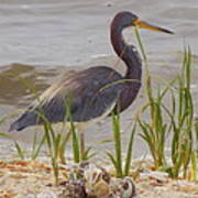 Blue Heron On Oyster Shell Beach Poster