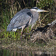 Blue Heron On The Hunt Poster