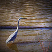 Blue Heron - Shallow Water Poster