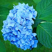 Blue Hydrangea Flower Art Prints Nature Floral Poster