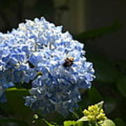 Blue Hydrangea With Bumblebee Poster