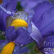 Blue Iris Close Up Poster