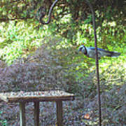 Blue Jay At Lunch Poster