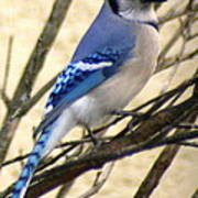 Blue Jay In A Bush Poster