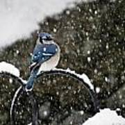 Blue Jay In Snow Storm Poster
