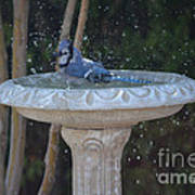 Blue Jay Loves To Splash Water Poster