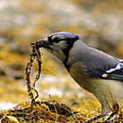 Blue Jay Nest Building Poster