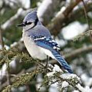 Blue Jay On Hemlock Poster
