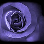 Blue Lavender Violet Roses Triptych Poster