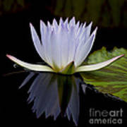 Blue Lily 4461 Poster