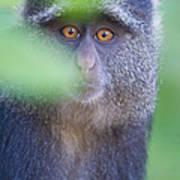 Blue Monkey Cercopithecus Mitis, Lake Poster