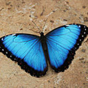 Blue Morpho #2 Poster