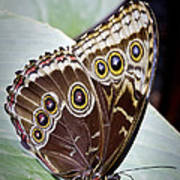 Blue Morpho Butterfly Costa Rica Poster