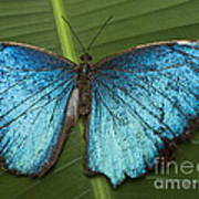 Blue Morpho - Morpho Peleides Poster