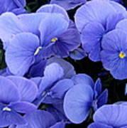 Blue Pansies Poster