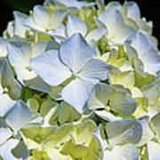 Blue Pastel Floral Art Prints Hydrangea Flowers Poster
